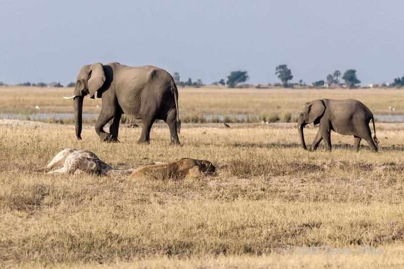 Lioness-guarding-fresh-giraffe-kill-2