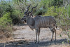 Large-male-kudu