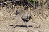 Baboon-carrying-baby-under-stomach