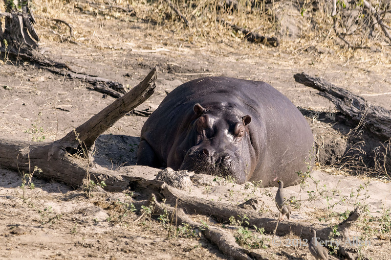Hippo-sleeping-on-Chobe-River-bank