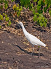 Great-white-egret-2