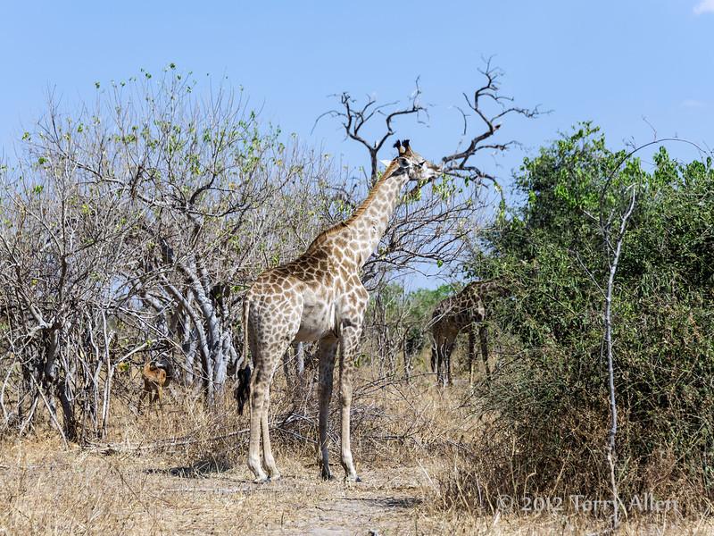 Giraffe-feeding-in-trees
