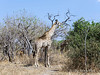 Giraffe-feeding-in-trees
