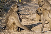 Baboon-family-activities-6