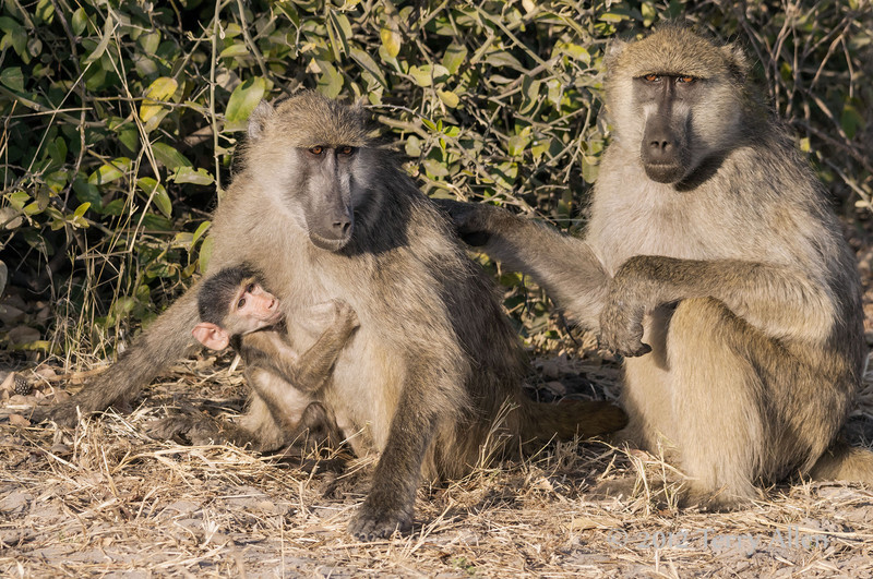Baboon-family-at-sunset