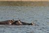 Hippo-in-Chobe-River-1