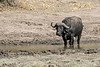 Muddy-Cape-buffalo