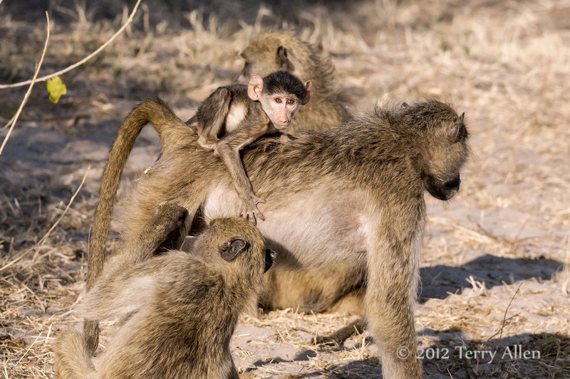 Baboon-family-activities-5