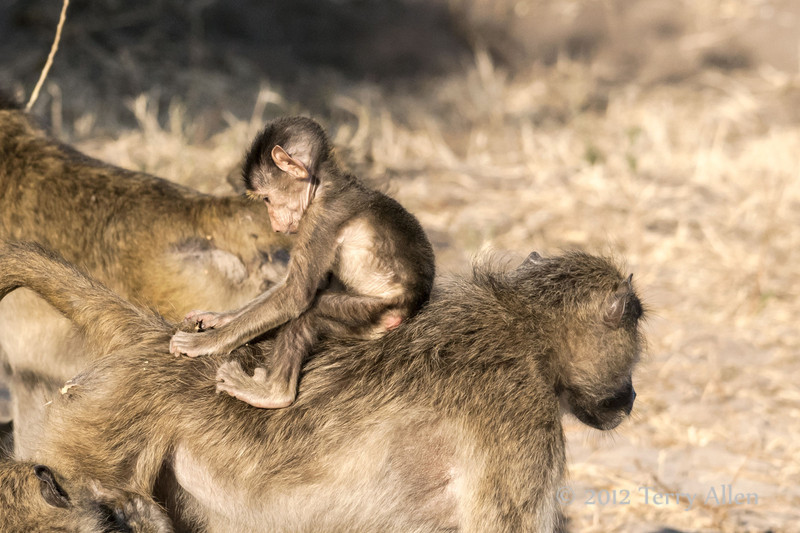 Baboon-family-activities-3
