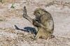 Baboon-examining-leg
