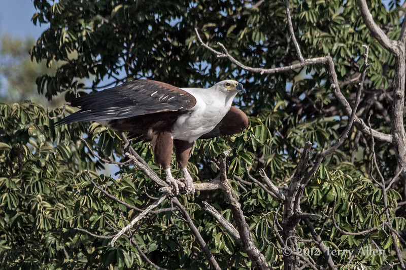 African-fish-eagle-about-to-take-flight