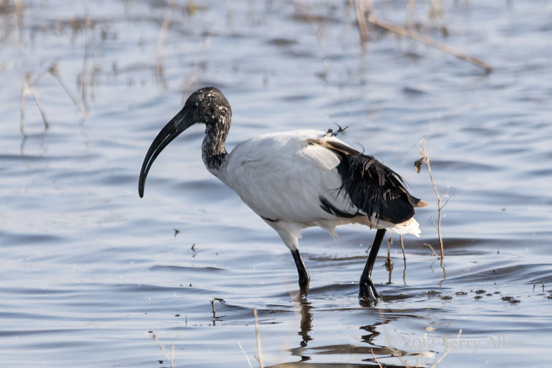 African-sacred-ibis-2