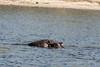 Hippo-in-Chobe-River-2
