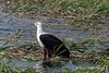 African-fish-eagle-3