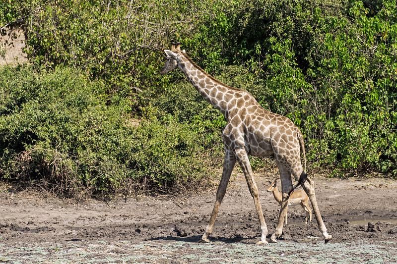 Giraffe-&-impala