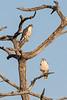 Lanner-falcon,-adult-&-juvenile