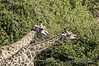 Pair-of-giraffe-browsing-in-tree-tops