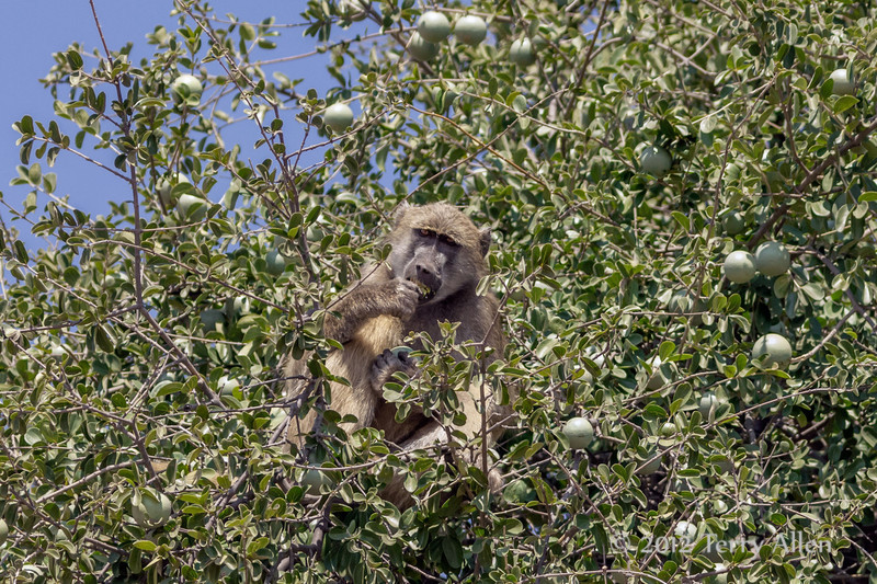 Baboon-eating-in-black-monkey-tree