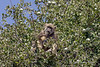 Baboon-eating-in-black-monkey-tree