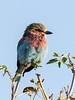 Young-lilac-breasted-roller