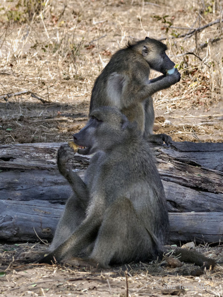 Baboons-eating-fruit-from-black-monkey-tree