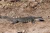 Monitor-lizard,-late-day