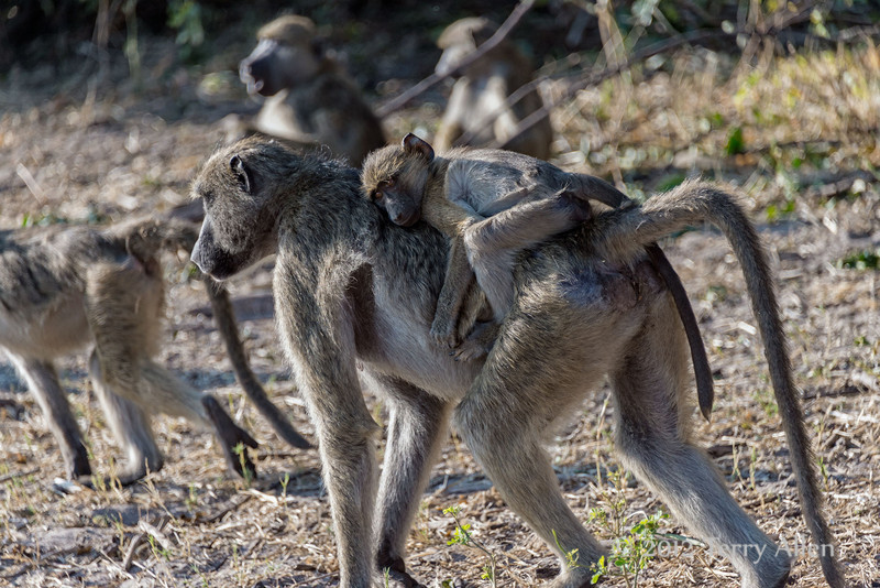Baboon-with-baby-on-back