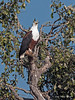 African-fish-eagle