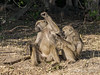 Dominant-baboon-getting-groomed