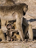 Baboon-family-activities-2