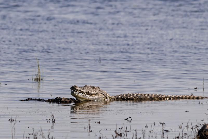Nile-crocodile-in-Chobe-River