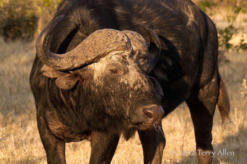 Cape-Buffalo-eating-dried-grass-at-sunset