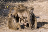 Baboon-family-activities-1