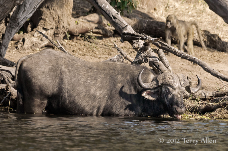 Cape-buffalo-drinking-from-Chobe-River