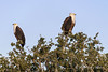 Pair-of-African-fish-eagles,-sunset