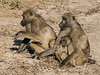 Baboon-family-at-sunset-4