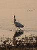 African-spoonbill-at-sunset