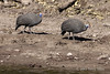 Helmeted-guinea-fowl-on-Chobe-River-bank,-late-day