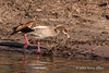 Egyptian-goose-on-banks-of-Chobe-River