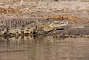 Nile-crocodile-2