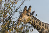 Giraffe-feeding-at-sunset,-close-up