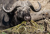 Close-up of a Cape buffalo eating grasses in Chobe National Park, Botswana.