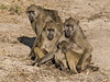Baboon-family-at-sunset-3