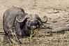 Cape-buffalo-eating-grasses-in-Chobe-River,-late-day