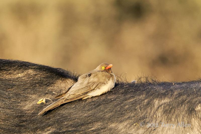 Tick-bird-on-Cape-Buffalo,-sunset
