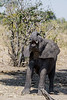 Curious-young-elephant-2