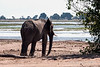 Elephant-heading-to-the-Chobe-River-to-drink