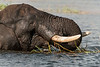 Elephant-eating-reed-grasses-in-Chobe-River