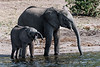 Baby-elephant-trying-to-drink-from-Chobe-River