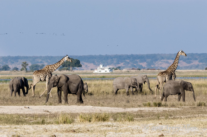 Elephants-&-giraffe-by-Chobe-River